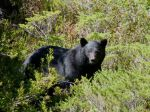 Black Bear near Baby Bedwell