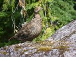 Female Sooty Grouse