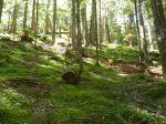 Open understory forest
