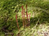 Spotted coral root
