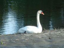 Swan on the Sooke River