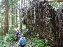 Huge root mass of fallen tree