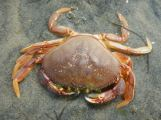 Small Dungeness crab