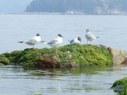 Bonaparte Gulls chilling