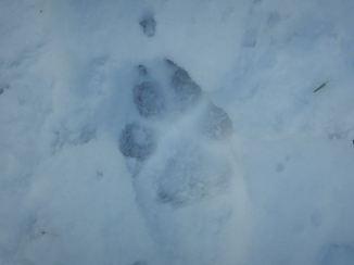 Wolf print?