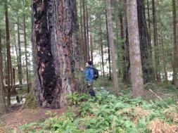 Old growth Douglas fir
