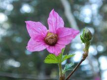 Salmonberry blosssom