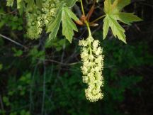 Bigleaf Maple catkin